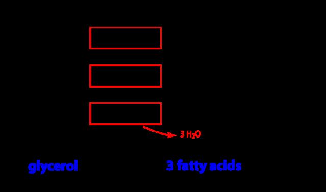 triacylglycerol